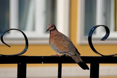 Wood dove, Istanbul, Turkey
