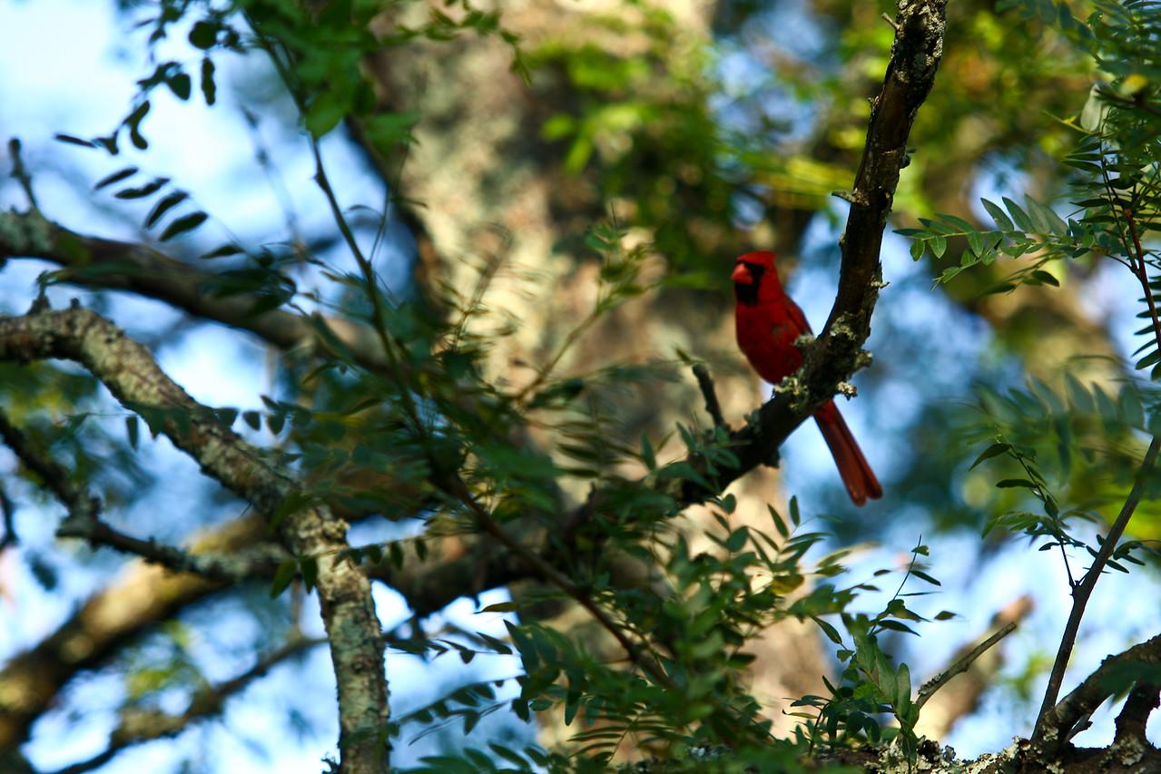 cardinal-7