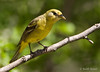 Female Western Tanager