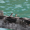 Welcome swallows on old rustic wharf beam.