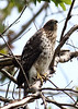 Sharp Shinned Hawk