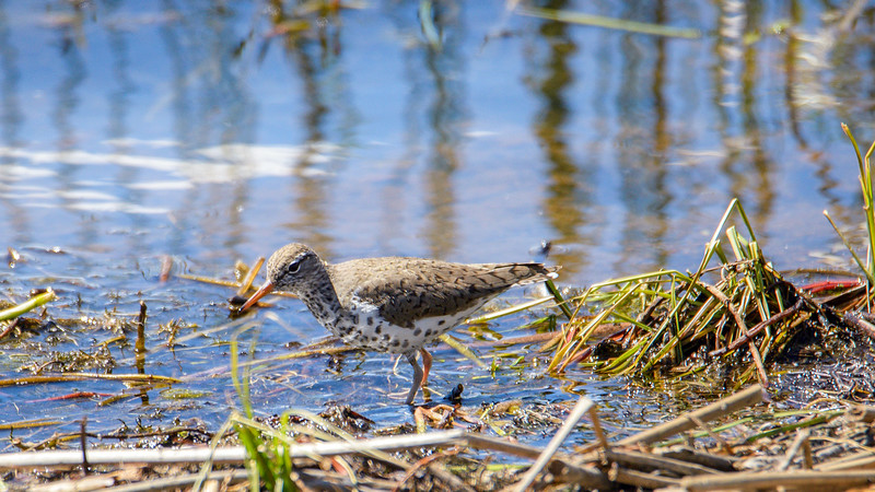 Spotted Sandpiper<br /> Luna Lake, AZ.<br /> May 1, 2017