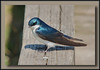 Tree Swallow - teasing me!  from behind me it flies by my head, land nearby, I edge closer, flies away.... repeat cycle.