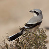 Southern Grey shrike, shot in Qatar, Canon EOS 1D Mark4 & Canon EF 800mm f/5.6L.