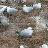 Seagulls, black and red billed make nesting site out of earthquake demolition remains of Christchurch building