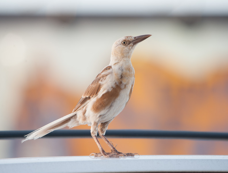 Great-tailed Grackle (Female with pied plumage)