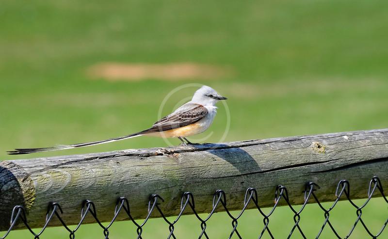 Scissortail flycatcher on fence