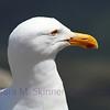 Gull Glimpse