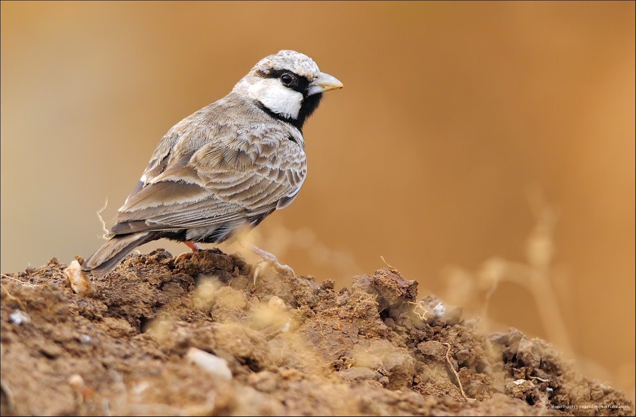 Ashy crowned sparrow Lark (male)