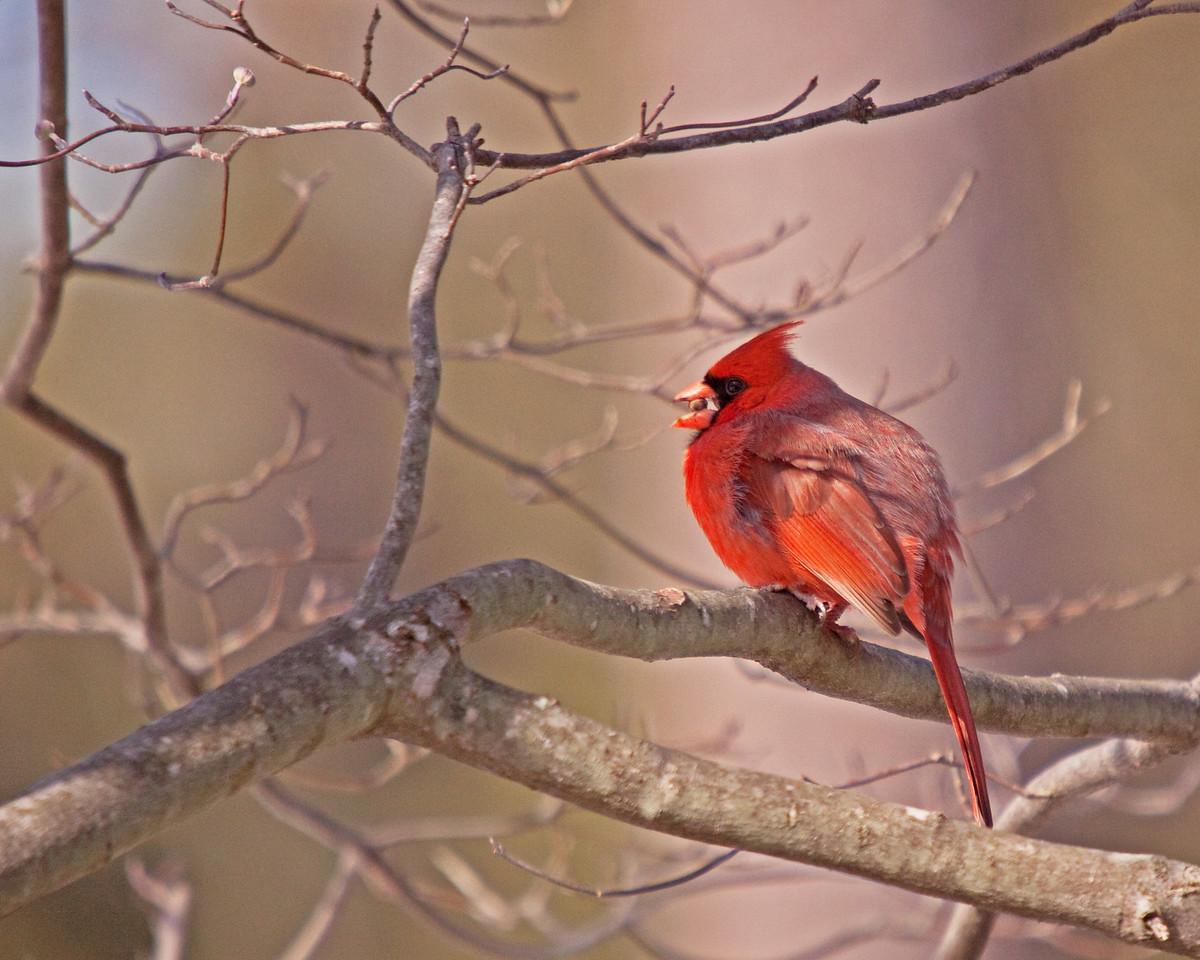 Cardinal with seed