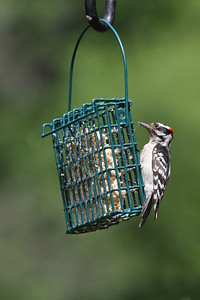 A hairy woodpecker feeding at a wire bird feeter