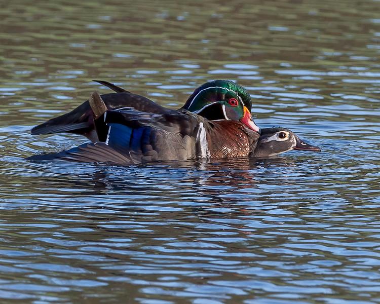 Wood ducks in love