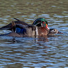 Wood ducks in love