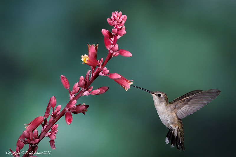 Female Black Chinned Hummingbird