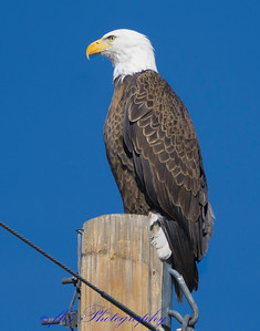 after no luck out Barr Lake, took 120th out to Harvest  Road.  There  was a lady watering her shrubs at the end of her driveway and this pole right next to her drive, It didn't bother the eagle at all that she was right below him.