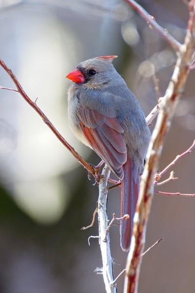 Northern Cardinal - Cardinalis cardinalis (female).