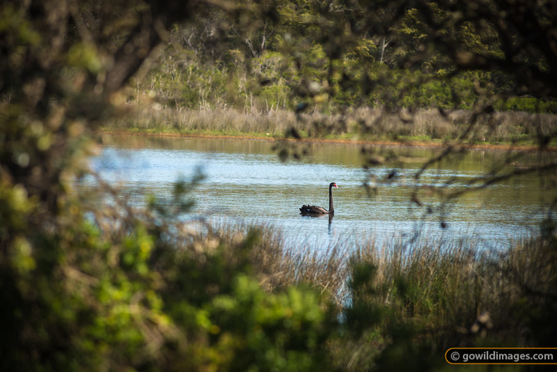 Black Swan on Balfours Swamp, The Lakes NP