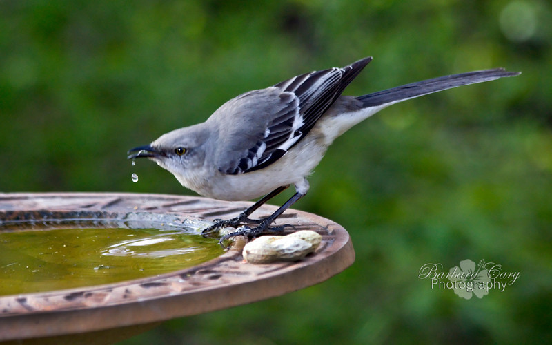 mockingbird drinking_IMG_4426