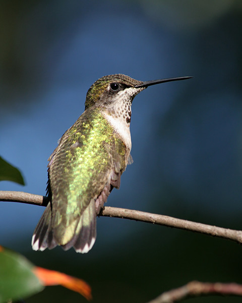 Ruby-throated Hummingbird (Male,Juvenile)