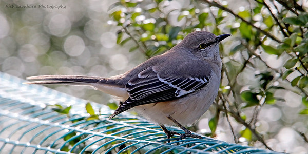 Mocking Bird in Clark Botanic Garden.