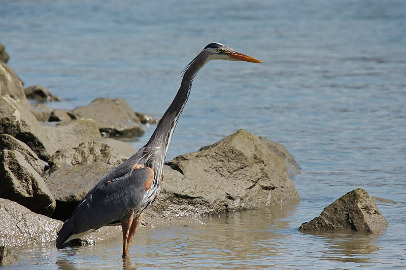 "Sequence 2/9 -  ""Let's look for something more filling...""<br /> Great Blue Heron on Fraser River @ Annacis Island"