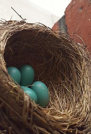 Robin's eggs in nest near doorway - Pittsburgh, PA