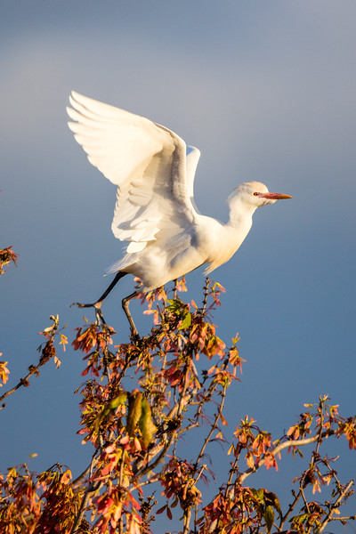 Cattle Egret takes flight