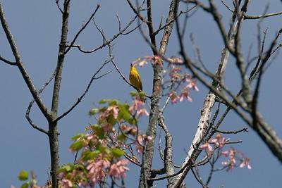 American yellow warbler (Setophaga petechia), male.
