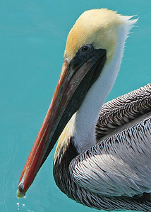 Pelican in the Florida Keys
