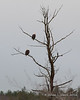 3/11/16<br /> Two mature Bald Eagles perched in a tree in Marlow, NH