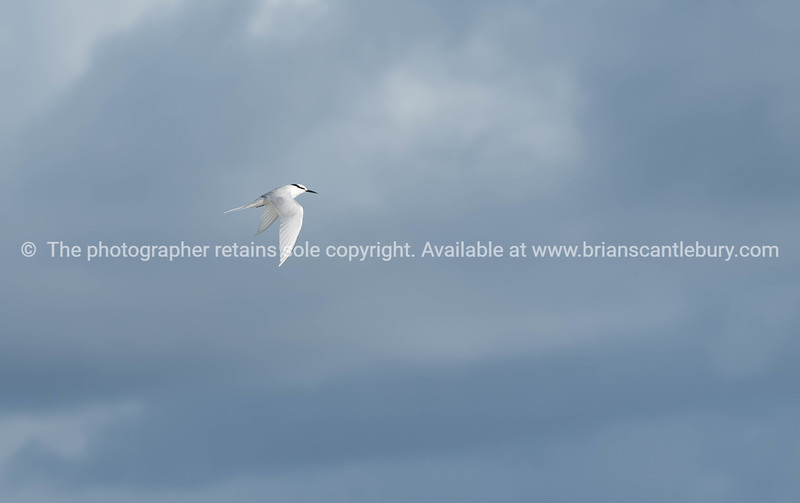Black naped tern flying past.