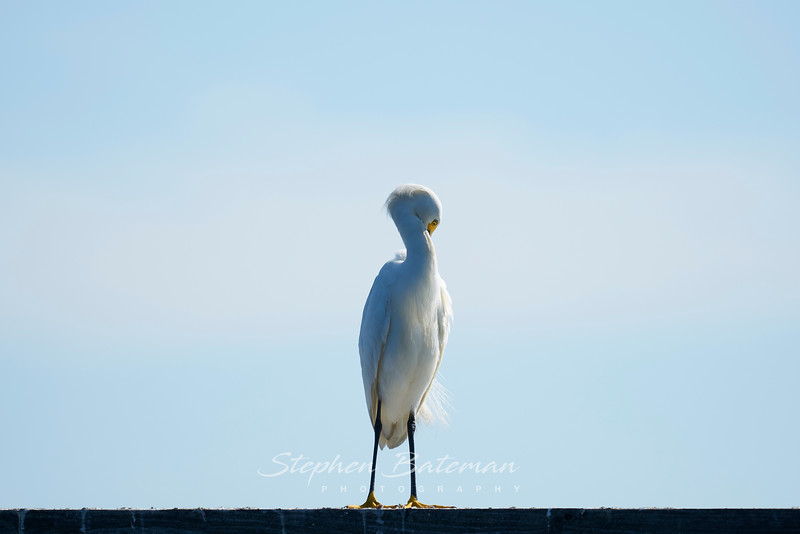 Eastern Great Egret preening
