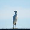 Eastern Great Egret preening