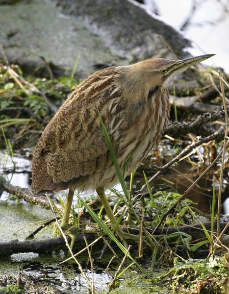 An American bittern (botaurus lentiginosus) profiled against the swamp while waiting to hunt for food. Its long, sharp beak is visible.