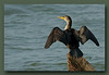 Cormorant at Richmond North Dyke.<br /> Sigma 50-500, Bigma