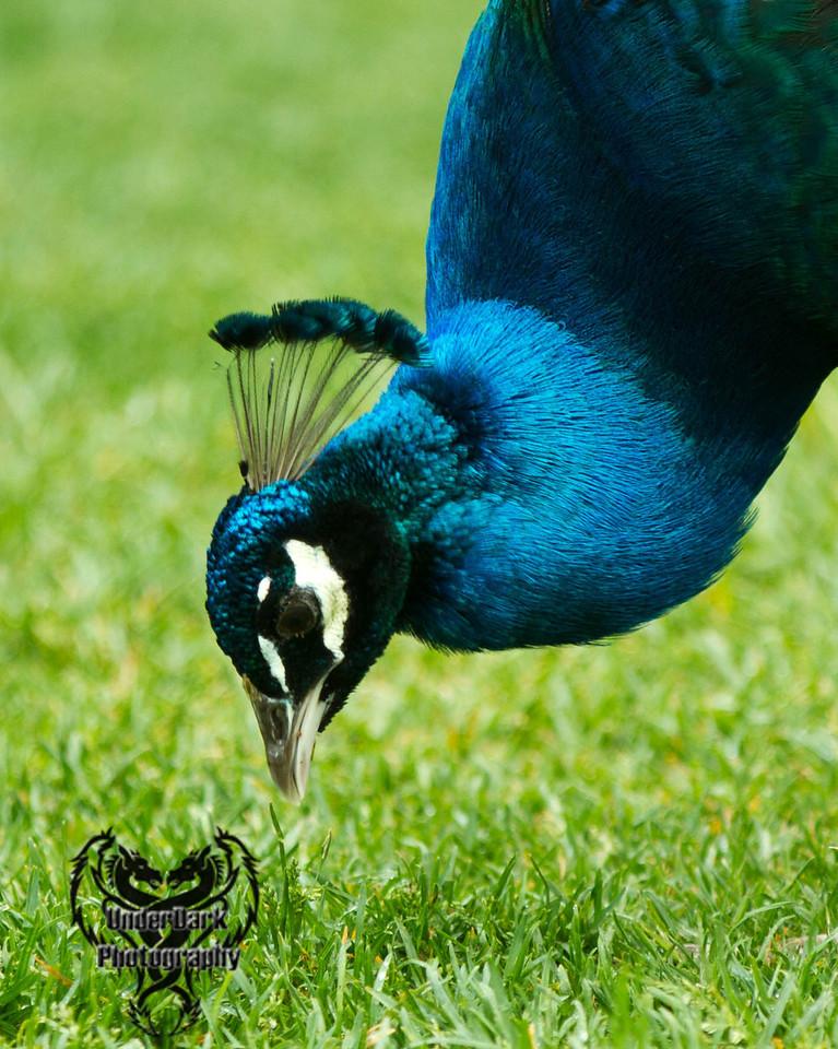 peacock1-1