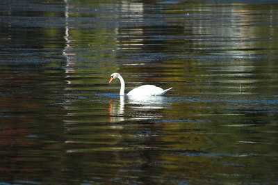 Mute Swan at Pentwater Lake