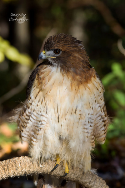 red-tailed_hawk_IMG_6982