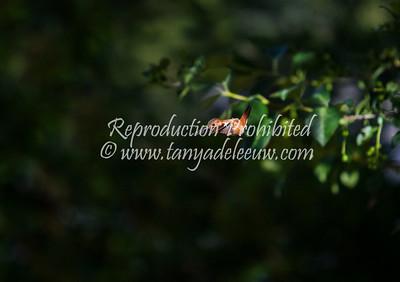 Male Rufous Hummingbird. Windermere, BC, June 2013