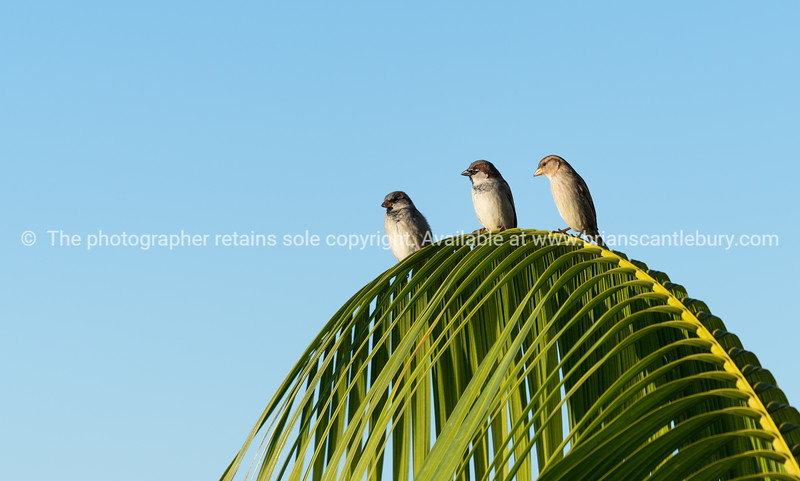 House sparrow perching on palm frond