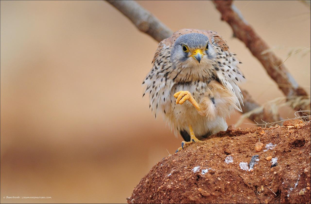 Hello, says the Common Kestrel ( male )