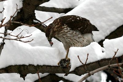 Astoria hawk devouring a pigeon in a snowy day.