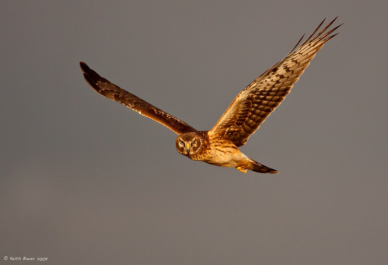 Northern Harrier 3 Against A Stormy Sky