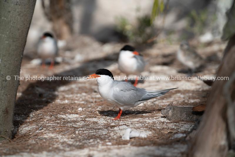 Roseate Tern in breading season