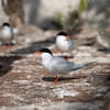 Roseate Tern in breading season