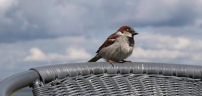 Sparrow. Photo: Martin Bager.