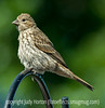 House Finch?