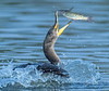 cormorant tossing a channel catfish