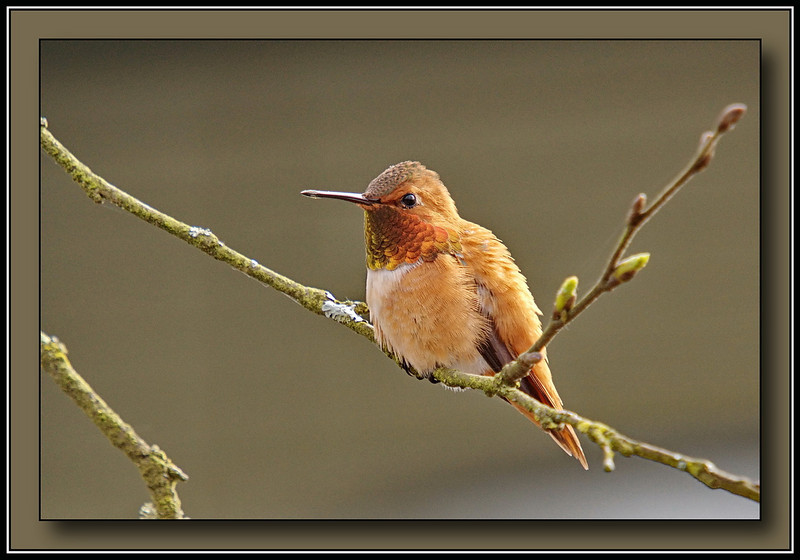 Male Rufous Hummingbird at Richmond Nature Park (Sony A700 + Sigma 50-500)