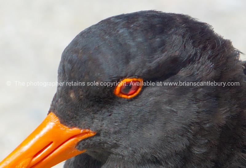 Variable oystercatcher - black